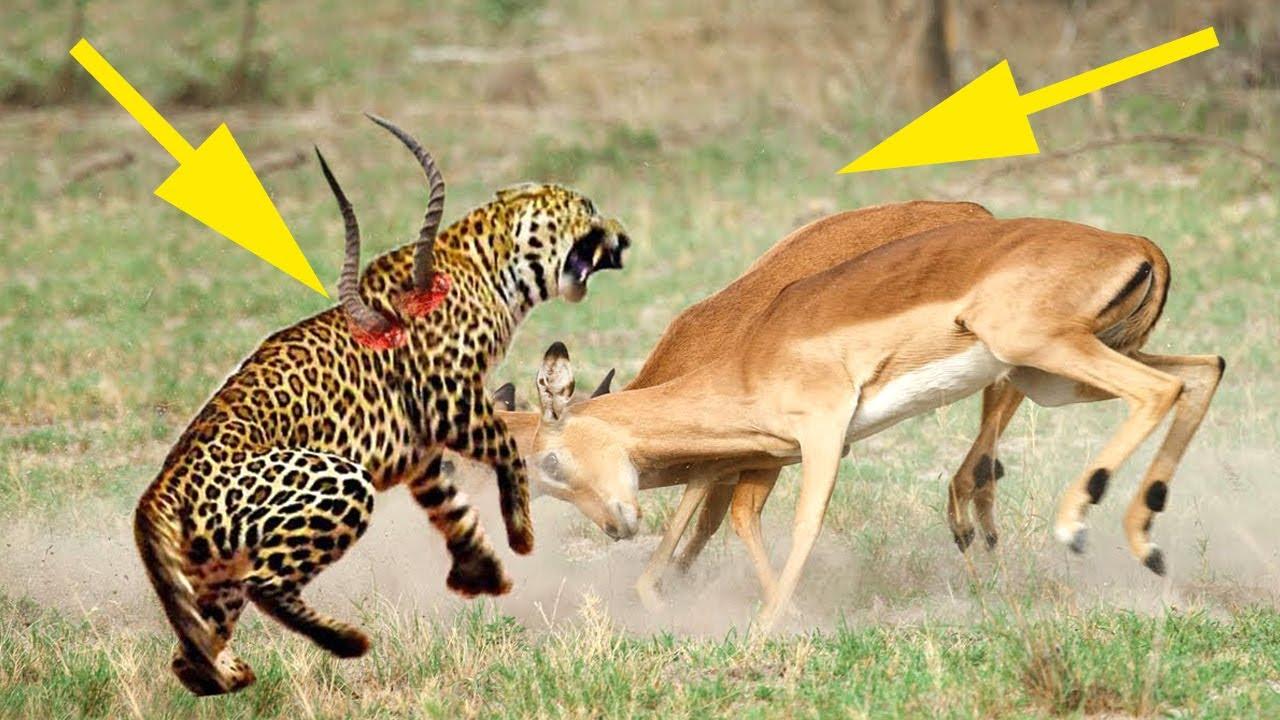 Impala Bravely Attacked Leopard Again, Hoping To Escape | ANNACODA, LION, CROCODILE
