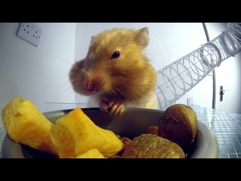 Inside a hamster's cheeks | Pets - Wild at Heart: Episode 1 Preview | BBC One