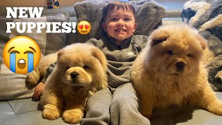 Surprising My Baby With Chow Chow Puppies For His Birthday!!! [CUTEST REACTIONS EVER!!]