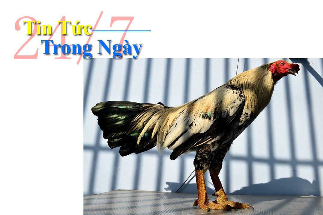 Tin tức trong ngày - Trại gà vảy rồng độc đáo ở Sài Gòn