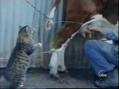 Kittens Drink Goats Milk