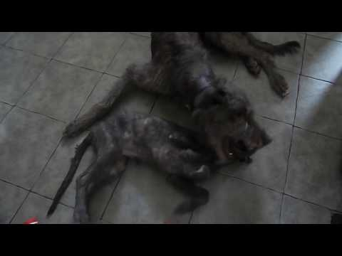 16 Month Old Scottish Deerhound & 13 Week Old Deerhound Lurcher