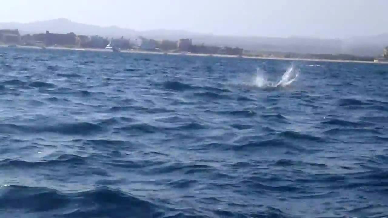 Manta Ray Jumping Jumping Manta Ray in Cabo San