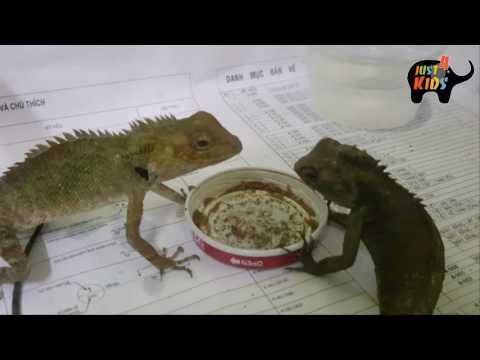 CÁCH CHĂM SÓC VÀ THUẦN KÌ NHÔNG,TẮC KÈ LÀM VẬT CẢNH - HOW TO FEED geckos to become pets