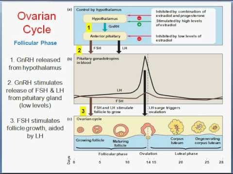 Menstrual cycle Part 1 - YouTube