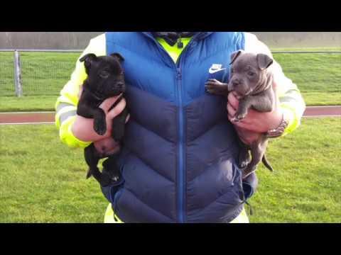 Staffordshire Bull Terrier - Milo 0-6 Months