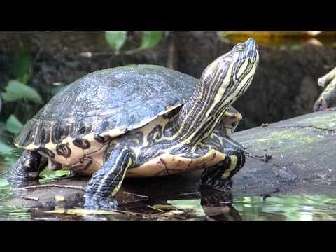 Gelbwangenschmuckschildkröte (Trachemys scripta scripta) -