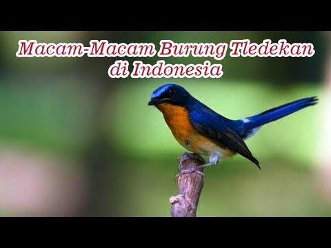 Macam-Macam Burung Tledekan yang Populer di Indonesia [Sikatan/Sulingan/Flycatcher]