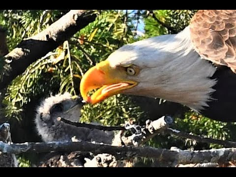 Thumbnail: Bald eagle defies nature by adopting, not eating, baby hawk