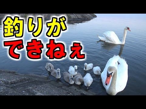 釣りをしてたら巨大白鳥の家族に絡まれた