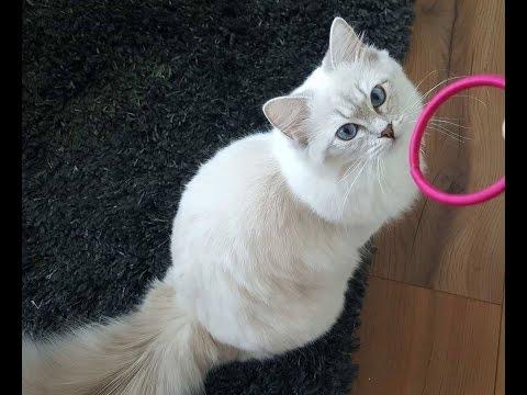 Beautiful Ragdoll cat thinks it's a dog: she plays fetch