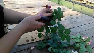 видео Как черенковать розы