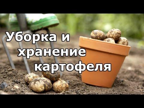 Когда убирать картофель. Как хранить картофель.   картофеля   картофель   хранение   хранить   убирать   уборки   сроки   нужно   когда   карто