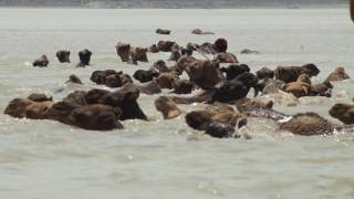 Swimming Kharai Camels