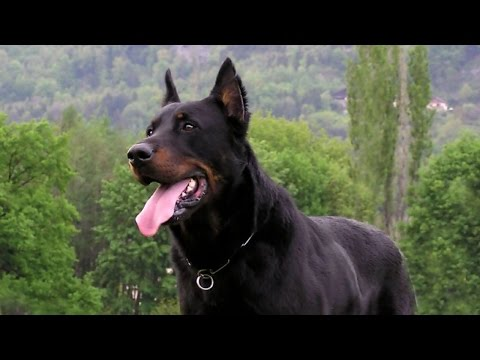 best-guard-dogs-breeds-for-family-&-personal-protection