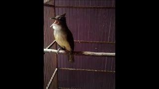 Burung Master! Cucak Jenggot/gebres/kores Gacor Mantap cocok Untuk Masteran Mura