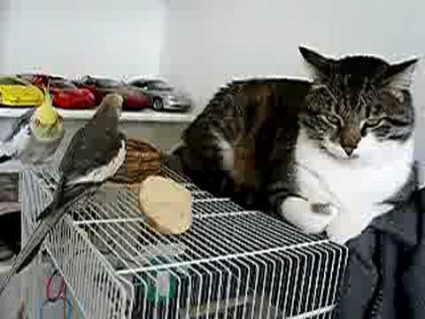 Cockatiel singing to a cat