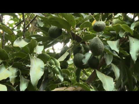 Kenyan avocado growers reaping benefits from West's obesession
