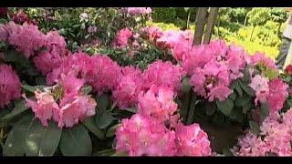 Рододендроны - выращивание и уход