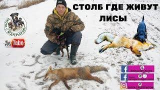 Охота с ягдтерьером на лису