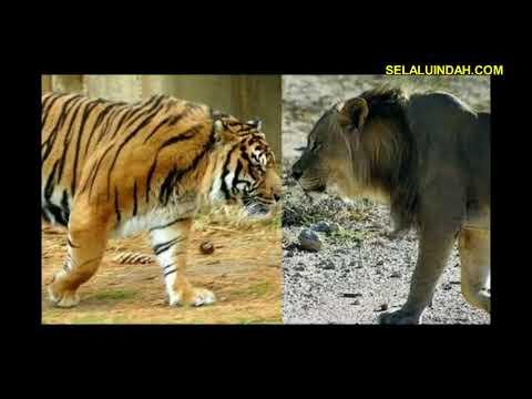 Harimau vs (lawan) Singa Menang Mana - Ржачные видео приколы