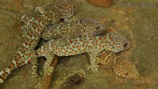 Bushman Catching Gecko Lizard Na floresta e Grill Gecko comer na caverna