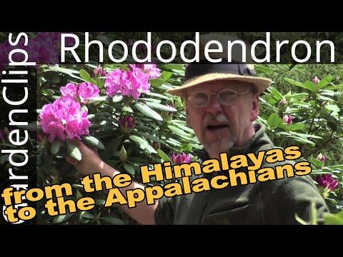 rhododendron---flowering-evergreen-shrub---best-maintenance-free-shrub