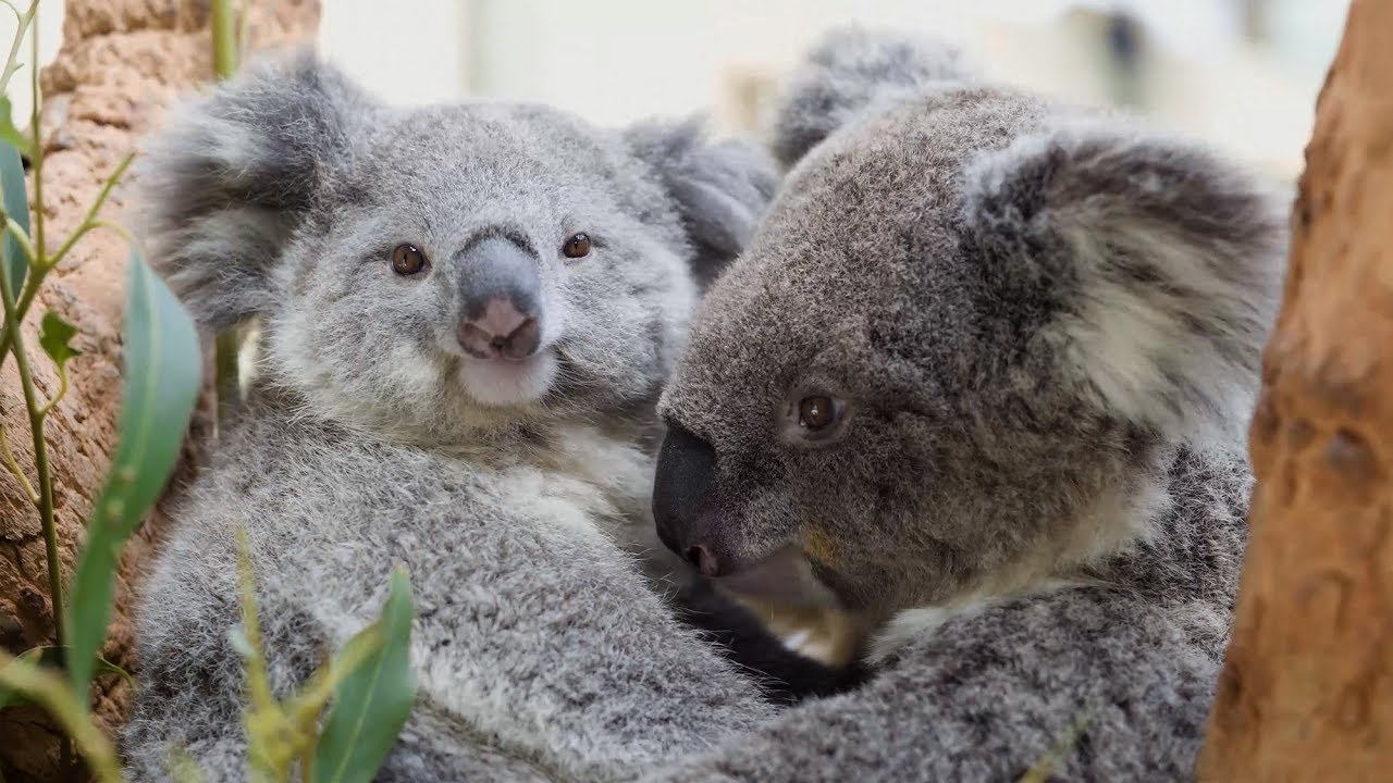 This baby koala just loves cuddling youtube - Pictures of koalas and baby koalas ...
