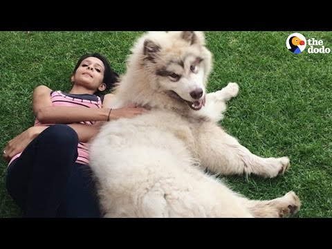 GIANT Dog Thinks He's a Lap Dog | The Dodo