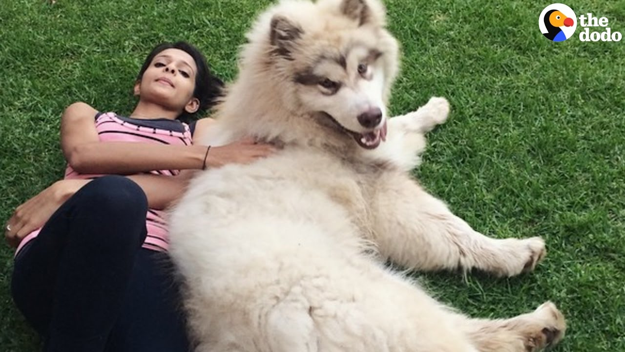 Giant Dog Thinks He S A Lap Dog The Dodo Youtube Подписчиков, 507 подписок, 9,055 публикаций — посмотрите в instagram фото и видео the matthews malamute family (@lifewithmalamutes). giant dog thinks he s a lap dog the dodo
