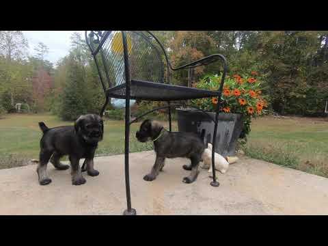 Standard Schnauzer Puppies - Meet the Boys