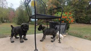 Standard Schnauzer Puppies  Meet the Boys