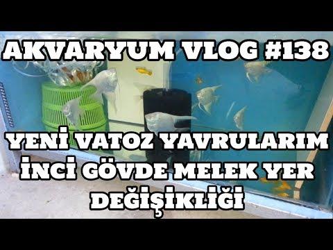 Akvaryum Vlog #138 (Vatoz Yavrularım Ve İnci Gövde Meleklerin Yer Değişimi)