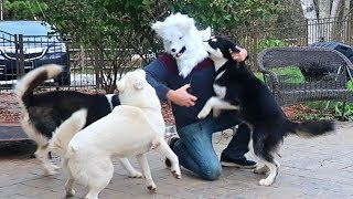 Husky Reaction to Halloween Husky Mask