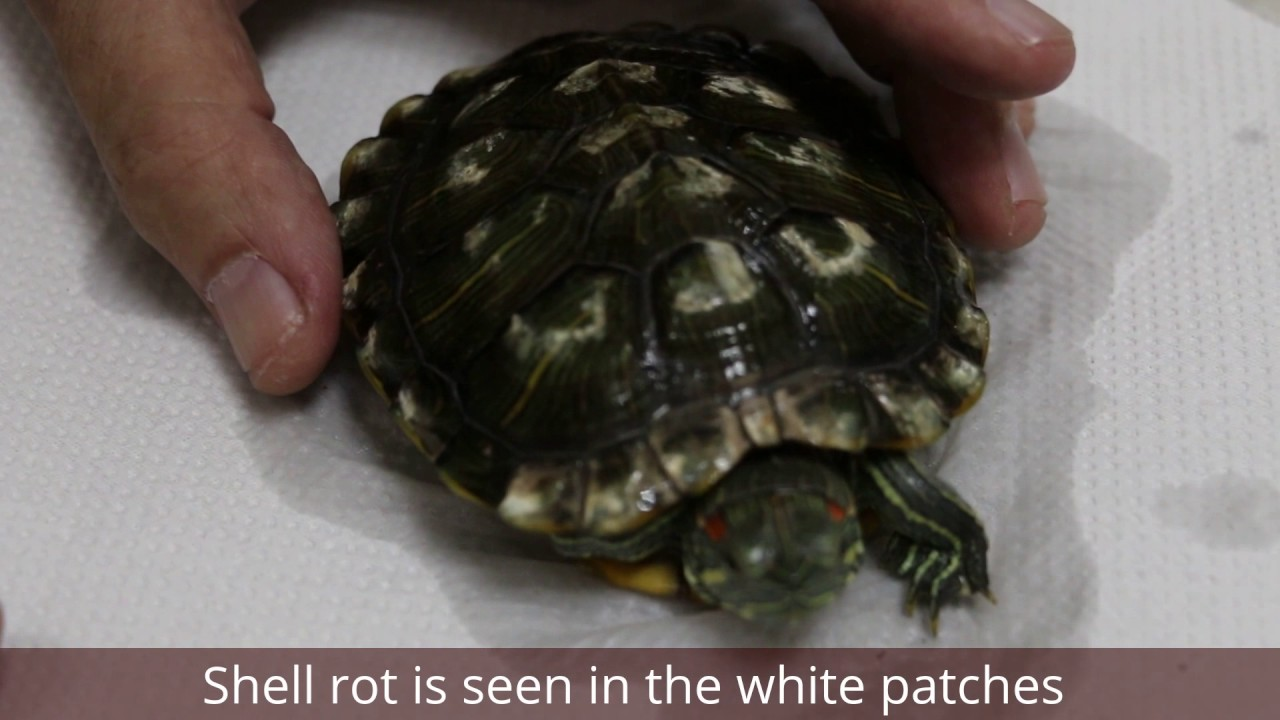 An abandoned red-eared slider has extensive white patches on her shell   Shell rot