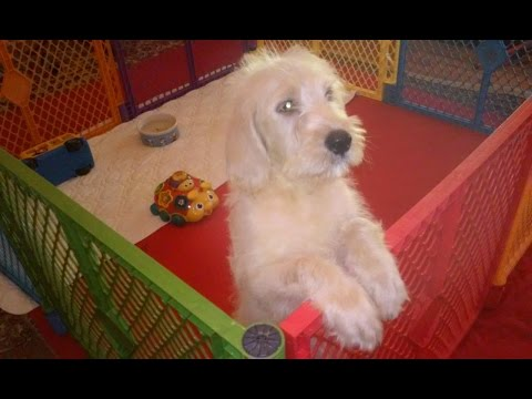 2.5-monh-old Labradoodle male puppies
