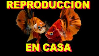 🐠🐠Como reproducir peces BETTA KOI NEMO 🐠🐠