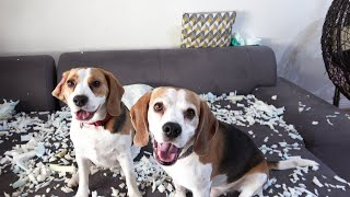 Funny Dogs Blame Each Other Even When They Are Not Guilty