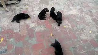 dog farm himachal una9817377199