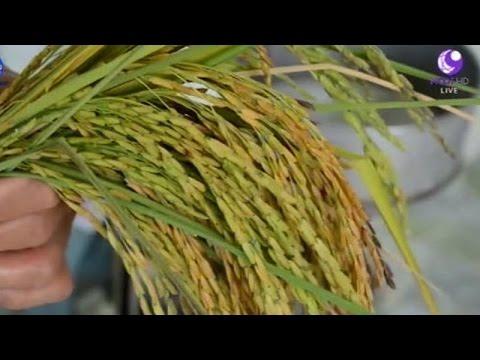 เกษตรทำเงิน : ข้าวอินทรีย์แปรรูปเพิ่มมูลค่า | สำนักข่าวไทย อสมท