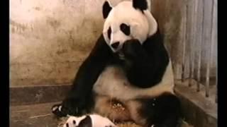 Панда чихнула! Прикол!