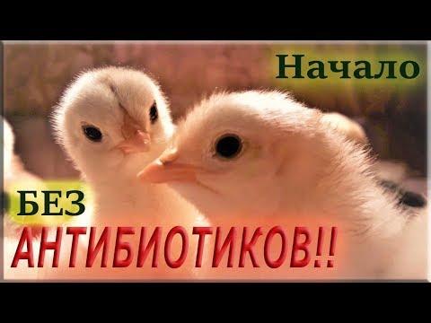 видео: Выращивание цыплят БЕЗ АНТИБИОТИКОВ! Первые 10 дней
