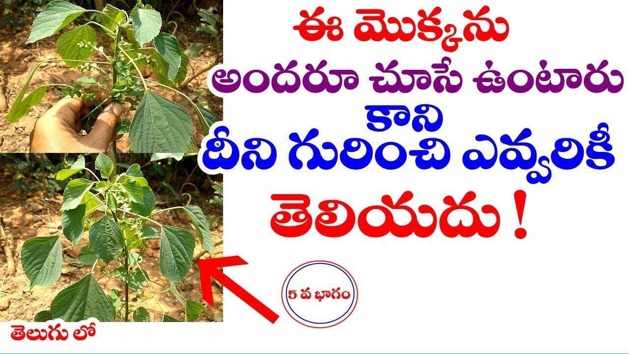 Acalypha Indica Indian Nettle Kupintaku Harithamanjari Uses In