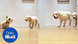 Golden retriever puppies grow up in adorable timelapse video - Daily Mail