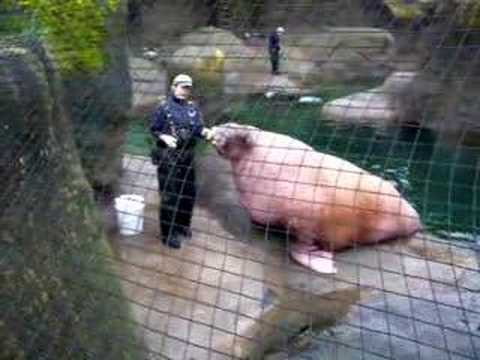 E.T. the Walrus making crazy sounds. Rest in peace buddy (Point Defiance Zoo Footage)
