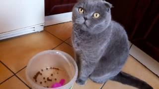 Кошка ест только с рук! Шотландская вислоухая кошка - scottish fold cat - Смешное видео с котами