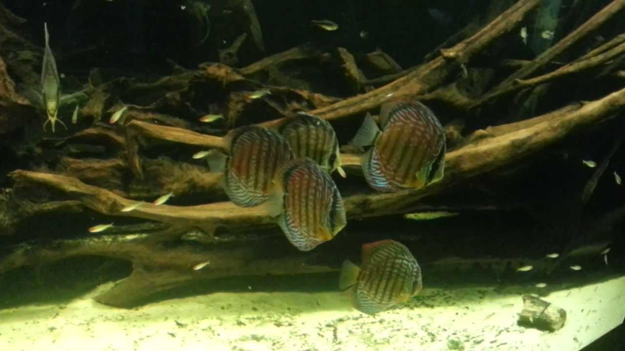 Freshwater aquarium fish angelfish - Discus Fish And Freshwater Angelfish In An Extra Large Fish Tank A Large School Of Firehead Tetras