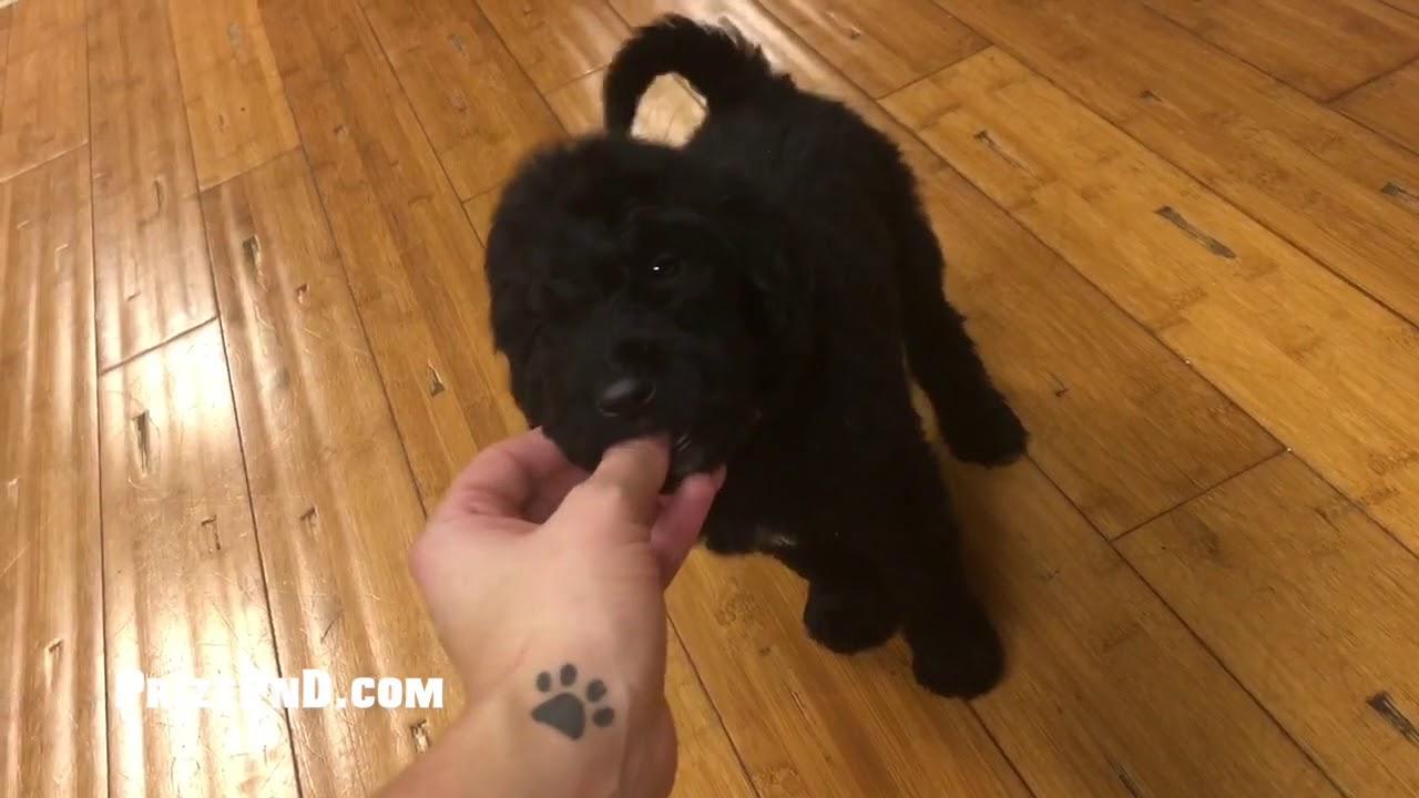 6 Week Old F1B Newfypoo Puppies!
