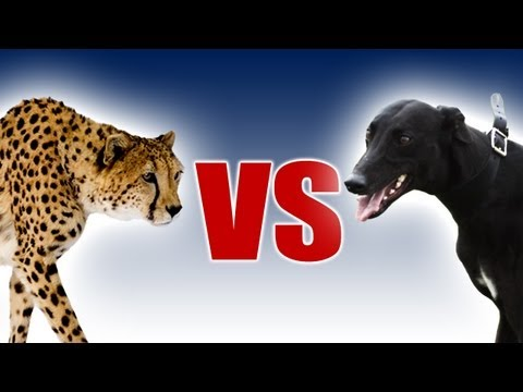 Cheetah vs Greyhound - World's Fastest Dog In Super Slow Motion - Slo Mo #29 - Earth Unplugged
