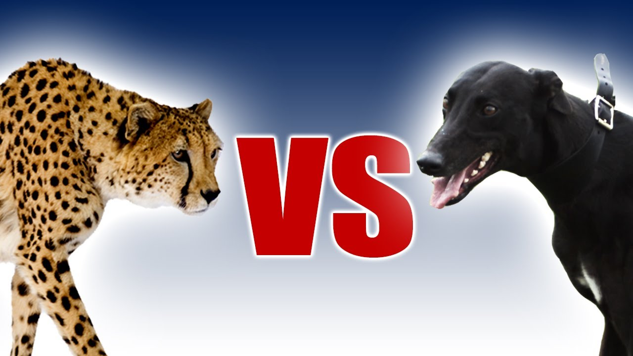 Cheetah Vs Greyhound World S Fastest Dog In Super Slow